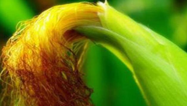 玉米须降血压降血脂降血糖 心脑血管病良药
